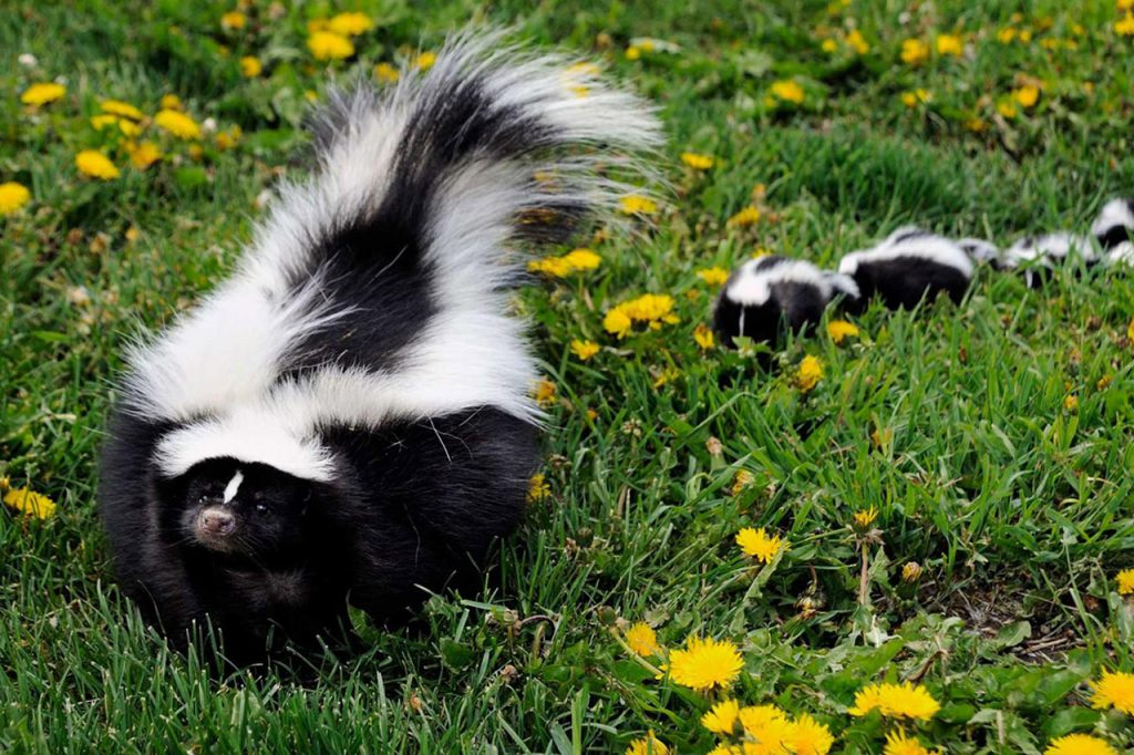 Neutralize Skunk and Animal Odors